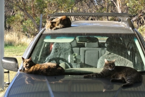 3 cats on the car